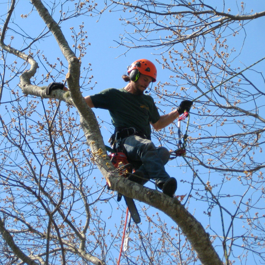 Tree climbing to prune & trim for shape & beauty