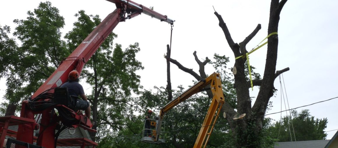 Cracked Hackberry Emergency Job | Forest Keepers Tree Care