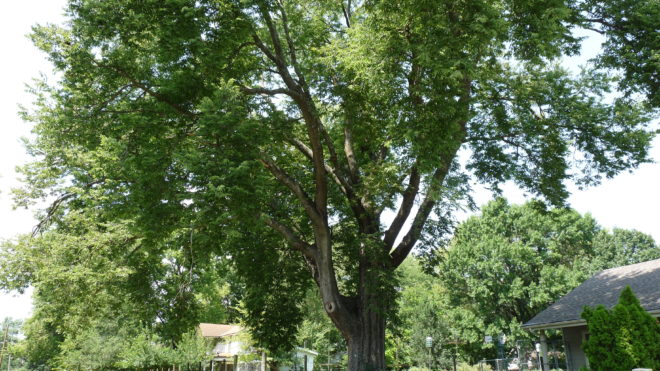 Champion Trees in the KC area